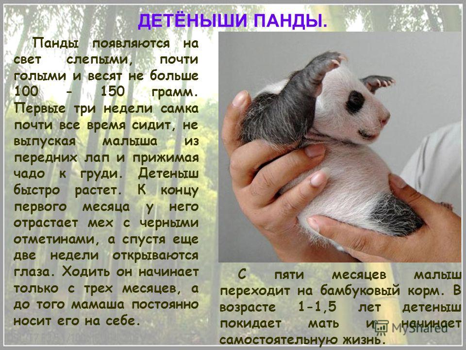 Панды появляются на свет слепыми, почти голыми и весят не больше 100 - 150 грамм. Первые три недели самка почти все время сидит, не выпуская малыша из передних лап и прижимая чадо к груди. Детеныш быстро растет. К концу первого месяца у него отрастае