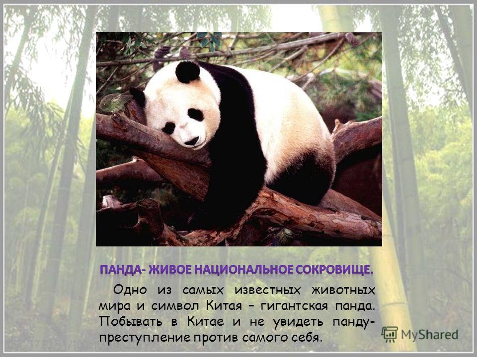 Одно из самых известных животных мира и символ Китая – гигантская панда. Побывать в Китае и не увидеть панду- преступление против самого себя.