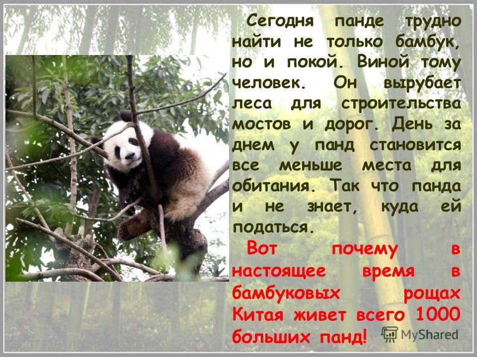 Сегодня панде трудно найти не только бамбук, но и покой. Виной тому человек. Он вырубает леса для строительства мостов и дорог. День за днем у панд становится все меньше места для обитания. Так что панда и не знает, куда ей податься. Вот почему в нас