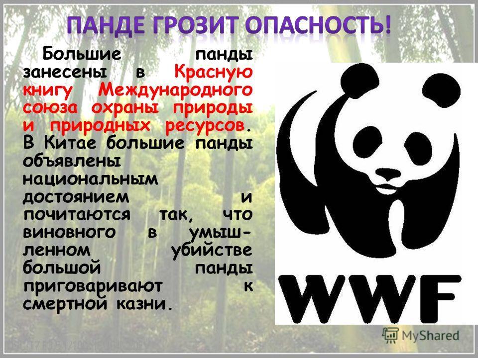 Большие панды занесены в Красную книгу Международного союза охраны природы и природных ресурсов. В Китае большие панды объявлены национальным достоянием и почитаются так, что виновного в умыш- ленном убийстве большой панды приговаривают к смертной ка