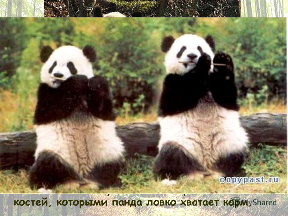 Весьма полезной отличительной чертой панды является подобие шестого большого пальца на передних лапах. На самом деле, это обросшие мясистыми подушечками отростки запястных костей, которыми панда ловко хватает корм.