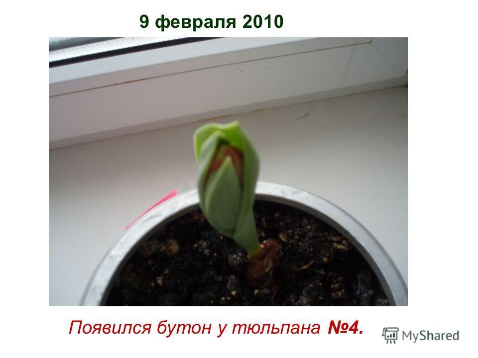 9 февраля 2010 Появился бутон у тюльпана 4.