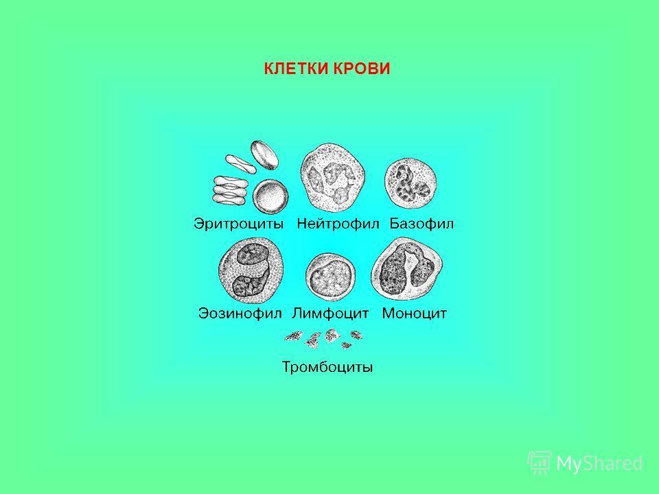 Клетки крови животных. Лейкоциты Лейкоциты бесцветные клетки крови, способные к амёбоидному движению. бесцветные клетки крови, способные к амёбоидному движению. Тромбоциты Тромбоциты кровяные пластинки, участвующие в свертывании крови. кровяные пласт