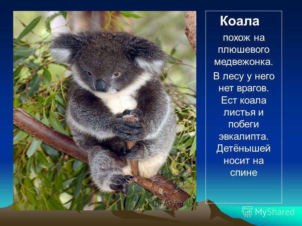 Коала похож на плюшевого медвежонка. В лесу у него нет врагов. Ест коала листья и побеги эвкалипта. Детёнышей носит на спине