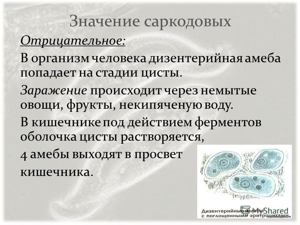 Значение саркодовых Отрицательное: В организм человека дизентерийная амеба попадает на стадии цисты. Заражение происходит через немытые овощи, фрукты, некипяченую воду. В кишечнике под действием ферментов оболочка цисты растворяется, 4 амебы выходят