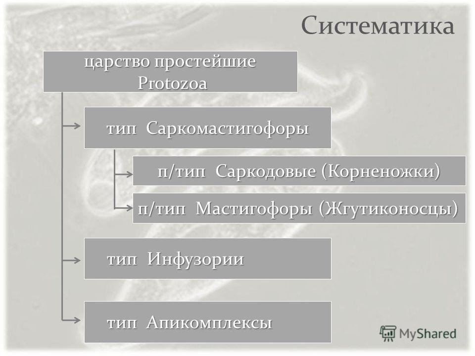 Систематика тип Саркомастигофоры тип Инфузории тип Инфузории царство простейшие Protozoa Protozoa тип Апикомплексы тип Апикомплексы п/тип Саркодовые (Корненожки) п/тип Мастигофоры (Жгутиконосцы)