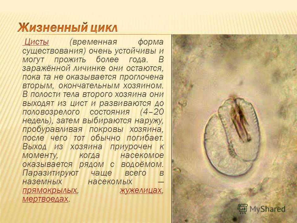 Цисты Цисты (временная форма существования) очень устойчивы и могут прожить более года. В заражённой личинке они остаются, пока та не оказывается проглочена вторым, окончательным хозяином. В полости тела второго хозяина они выходят из цист и развиваю