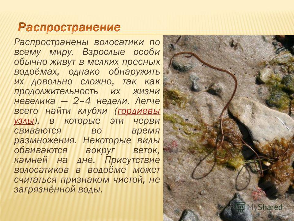 Распространены волосатики по всему миру. Взрослые особи обычно живут в мелких пресных водоёмах, однако обнаружить их довольно сложно, так как продолжительность их жизни невелика 2–4 недели. Легче всего найти клубки (гордиевы узлы), в которые эти черв