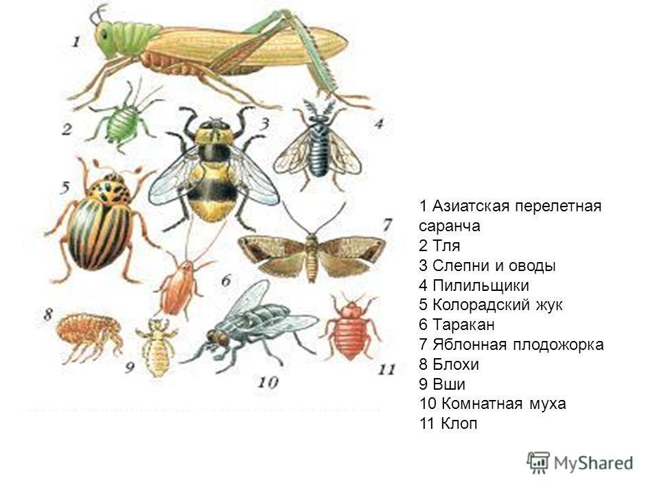 1 Азиатская перелетная саранча 2 Тля 3 Слепни и оводы 4 Пилильщики 5 Колорадский жук 6 Таракан 7 Яблонная плодожорка 8 Блохи 9 Вши 10 Комнатная муха 11 Клоп