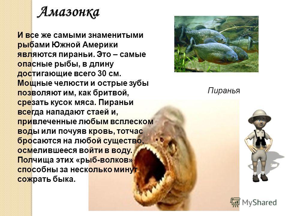 Здесь же водятся и самые маленькие рыбы во всем мире – пестро окрашенные гуппи, да и другие «аквариумные» рыбки. Амазонка