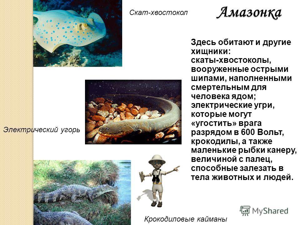 ПираньяАмазонка И все же самыми знаменитыми рыбами Южной Америки являются пираньи. Это – самые опасные рыбы, в длину достигающие всего 30 см. Мощные челюсти и острые зубы позволяют им, как бритвой, срезать кусок мяса. Пираньи всегда нападают стаей и,