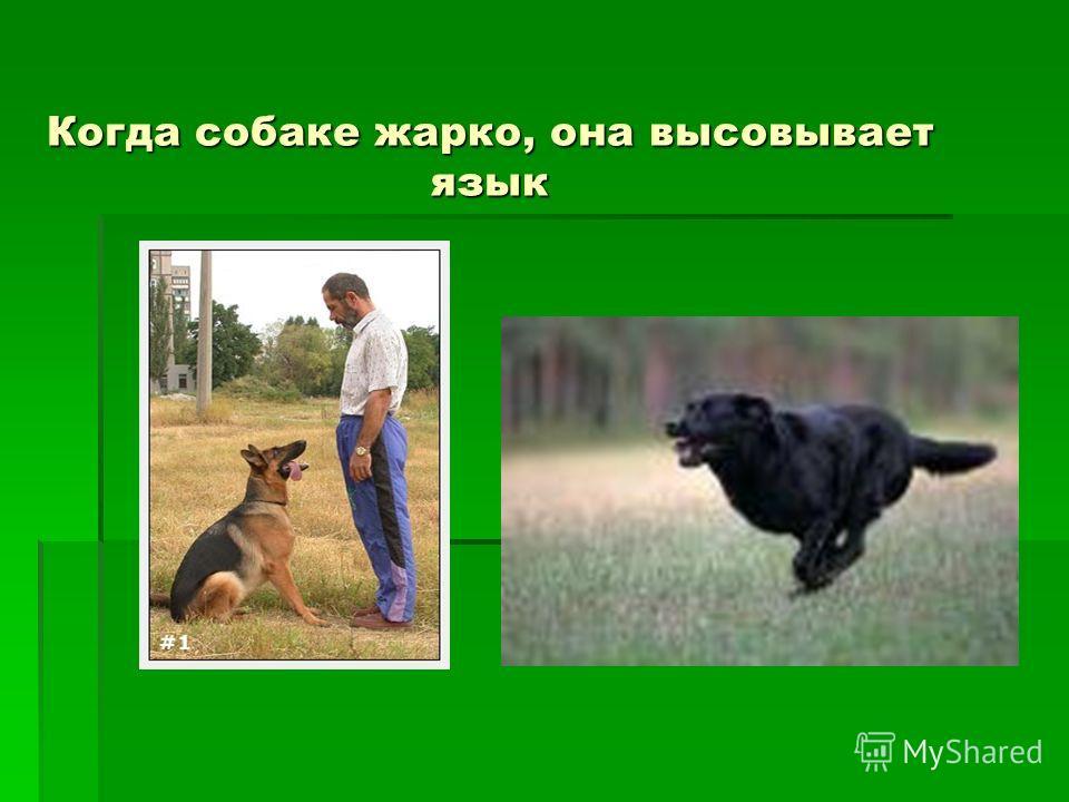 Когда собаке жарко, она высовывает язык