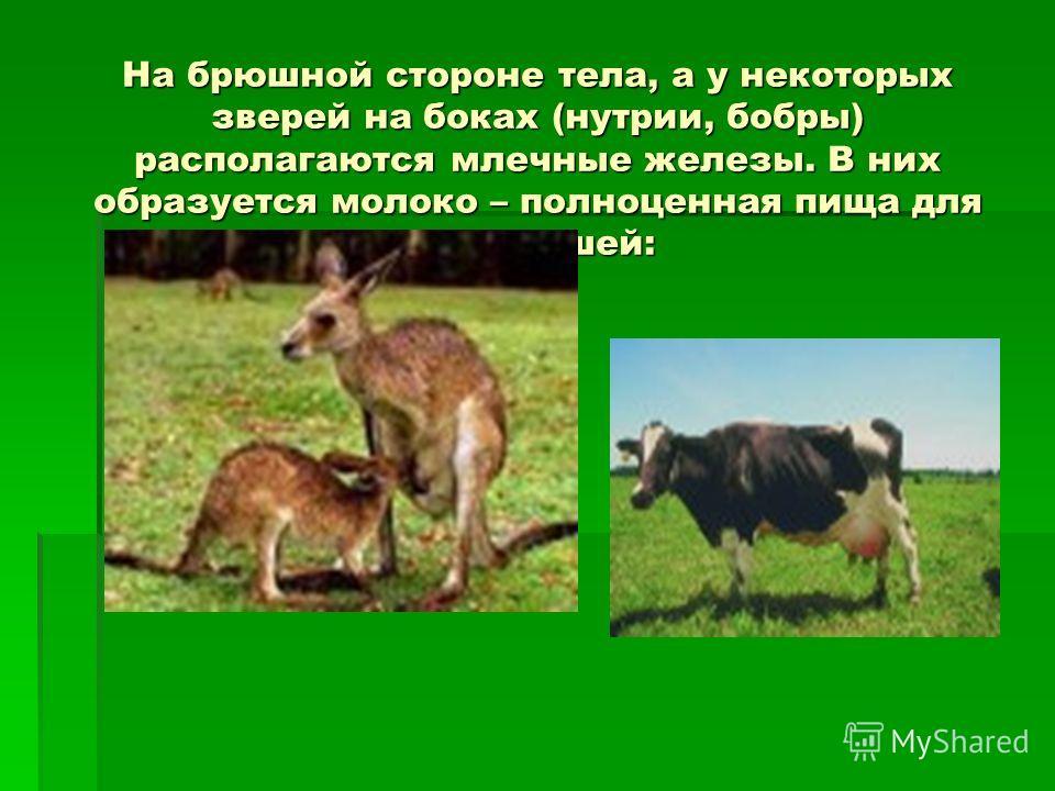 На брюшной стороне тела, а у некоторых зверей на боках (нутрии, бобры) располагаются млечные железы. В них образуется молоко – полноценная пища для детёнышей: На брюшной стороне тела, а у некоторых зверей на боках (нутрии, бобры) располагаются млечны