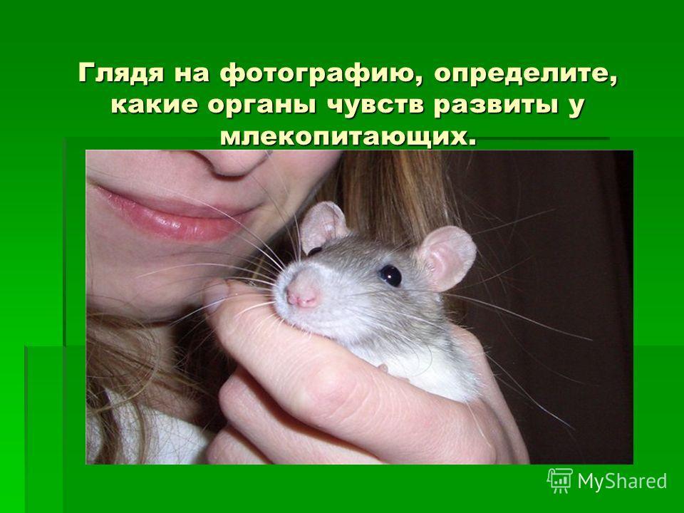 Глядя на фотографию, определите, какие органы чувств развиты у млекопитающих. Глядя на фотографию, определите, какие органы чувств развиты у млекопитающих.