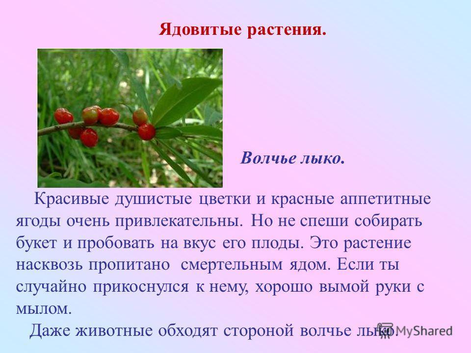 Красивые душистые цветки и красные аппетитные ягоды очень привлекательны. Но не спеши собирать букет и пробовать на вкус его плоды. Это растение насквозь пропитано смертельным ядом. Если ты случайно прикоснулся к нему, хорошо вымой руки с мылом. Даже