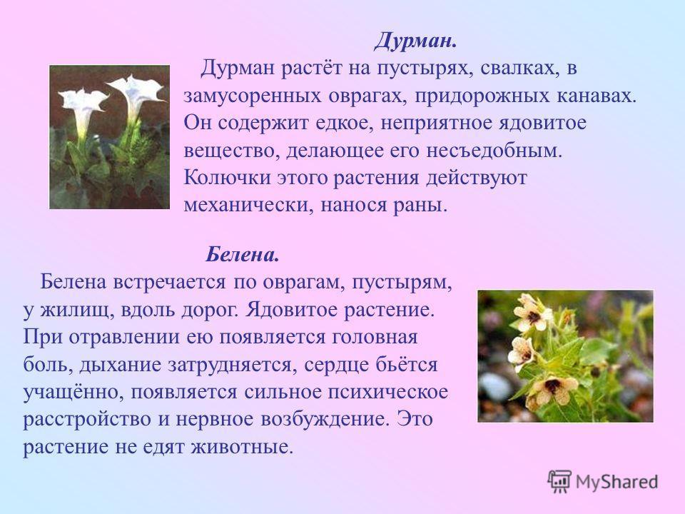 Дурман. Дурман растёт на пустырях, свалках, в замусоренных оврагах, придорожных канавах. Он содержит едкое, неприятное ядовитое вещество, делающее его несъедобным. Колючки этого растения действуют механически, нанося раны. Белена. Белена встречается