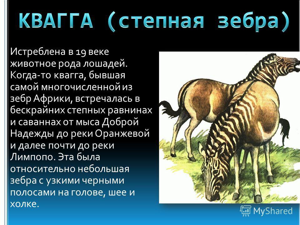 Истреблена в 19 веке животное рода лошадей. Когда-то квагга, бывшая самой многочисленной из зебр Африки, встречалась в бескрайних степных равнинах и саваннах от мыса Доброй Надежды до реки Оранжевой и далее почти до реки Лимпопо. Эта была относительн
