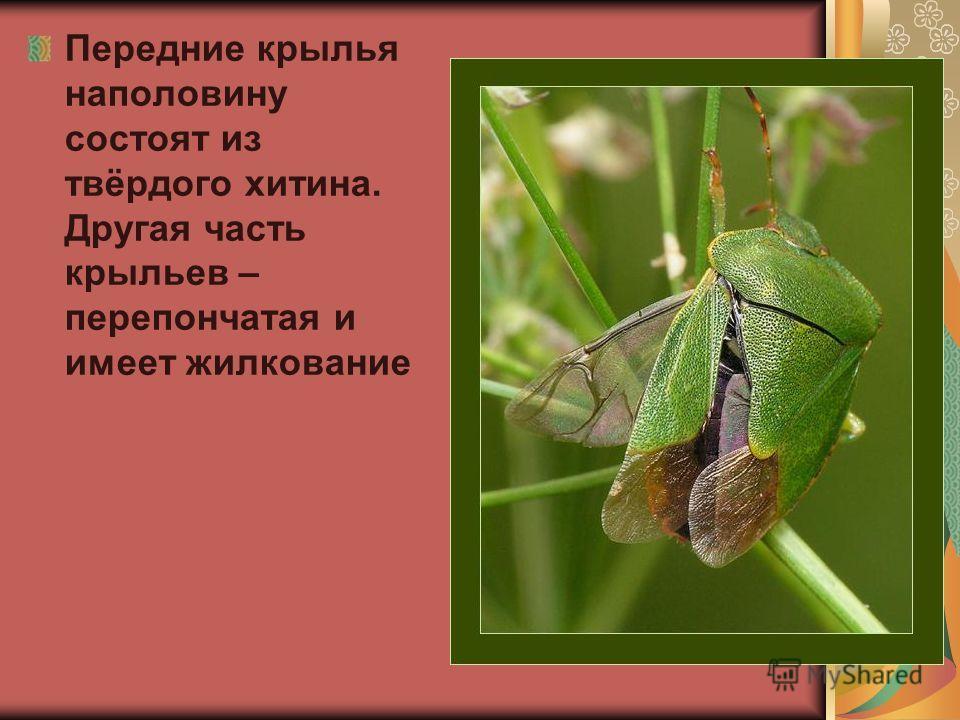 Передние крылья наполовину состоят из твёрдого хитина. Другая часть крыльев – перепончатая и имеет жилкование