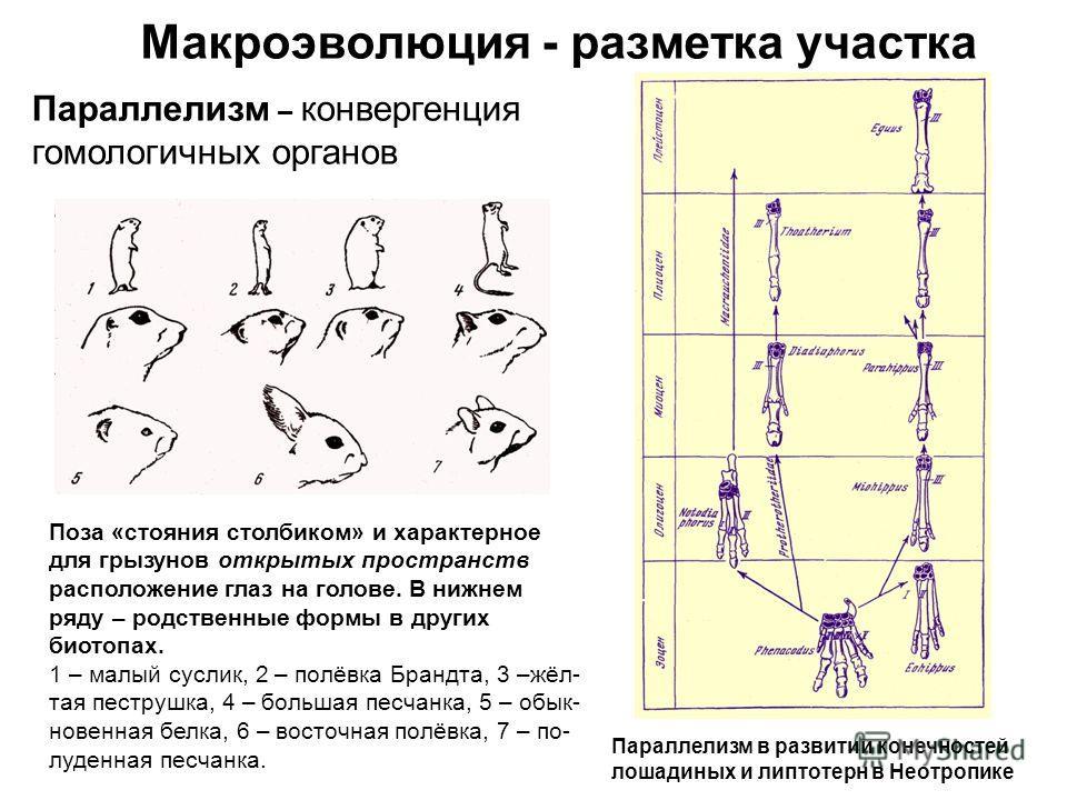 Макроэволюция - разметка участка Параллелизм – конвергенция гомологичных органов Поза «стояния столбиком» и характерное для грызунов открытых пространств расположение глаз на голове. В нижнем ряду – родственные формы в других биотопах. 1 – малый сусл