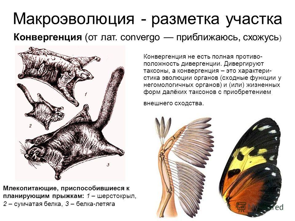Макроэволюция - разметка участка Конвергенция не есть полная противо- положность дивергенции. Дивергируют таксоны, а конвергенция – это характери- стика эволюции органов (сходные функции у негомологичных органов) и (или) жизненных форм далёких таксон