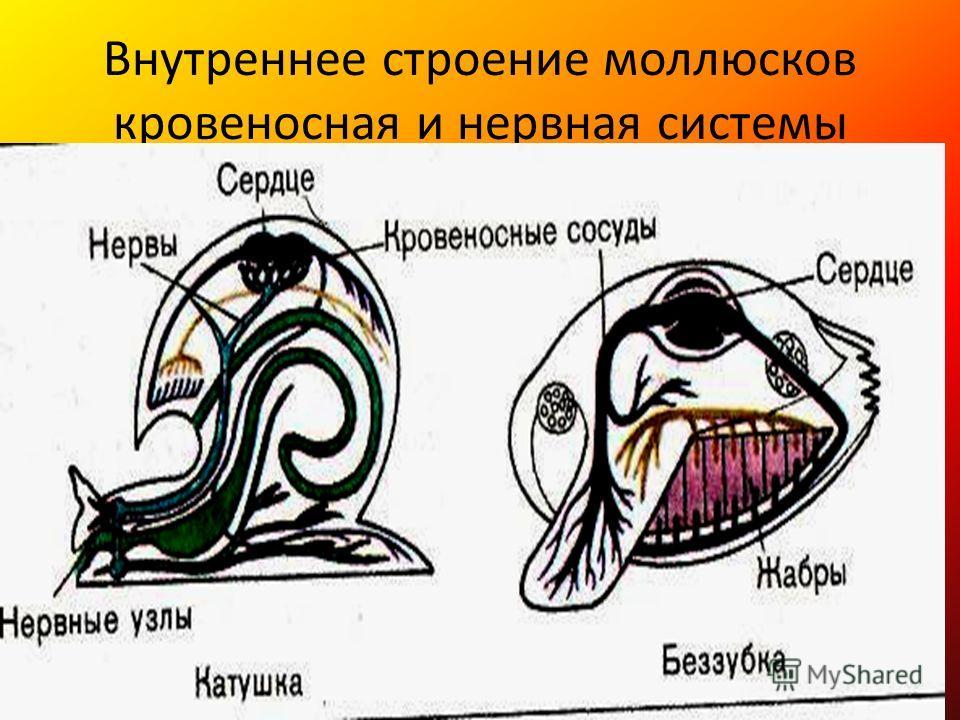 Внутреннее строение моллюсков кровеносная и нервная системы