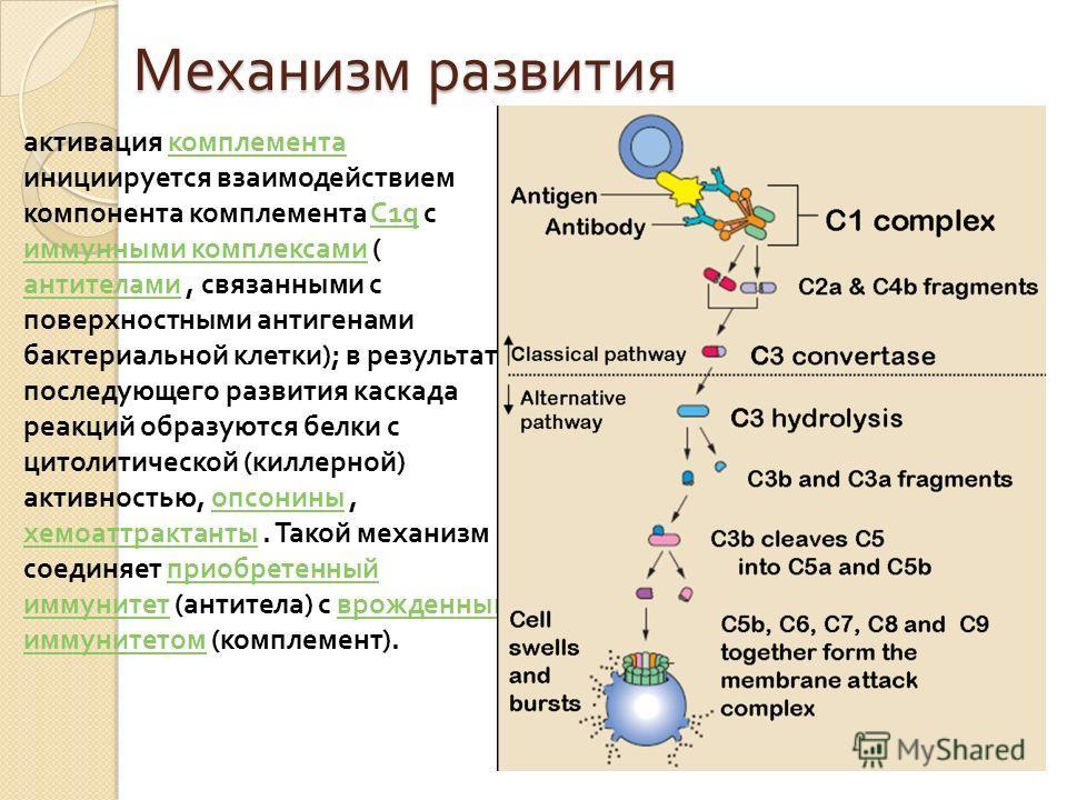 Механизм развития активация комплемента комплемента инициируется взаимодействием компонента комплемента С 1q с иммунными комплексами ( антителами, связанными с поверхностными антигенами бактериальной клетки ); в результате последующего развития каска