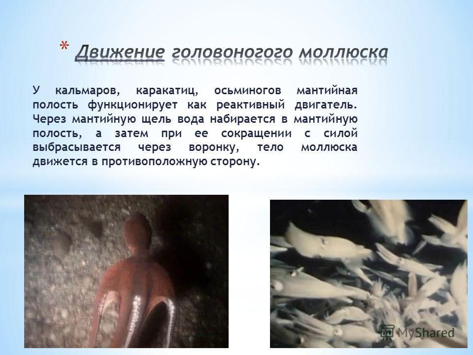 У кальмаров, каракатиц, осьминогов мантийная полость функционирует как реактивный двигатель. Через мантийную щель вода набирается в мантийную полость, а затем при ее сокращении с силой выбрасывается через воронку, тело моллюска движется в противополо