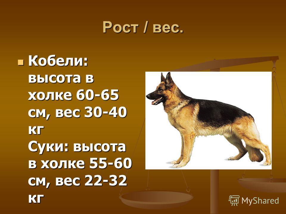 Рост / вес. Кобели: высота в холке 60-65 см, вес 30-40 кг Суки: высота в холке 55-60 см, вес 22-32 кг Кобели: высота в холке 60-65 см, вес 30-40 кг Суки: высота в холке 55-60 см, вес 22-32 кг