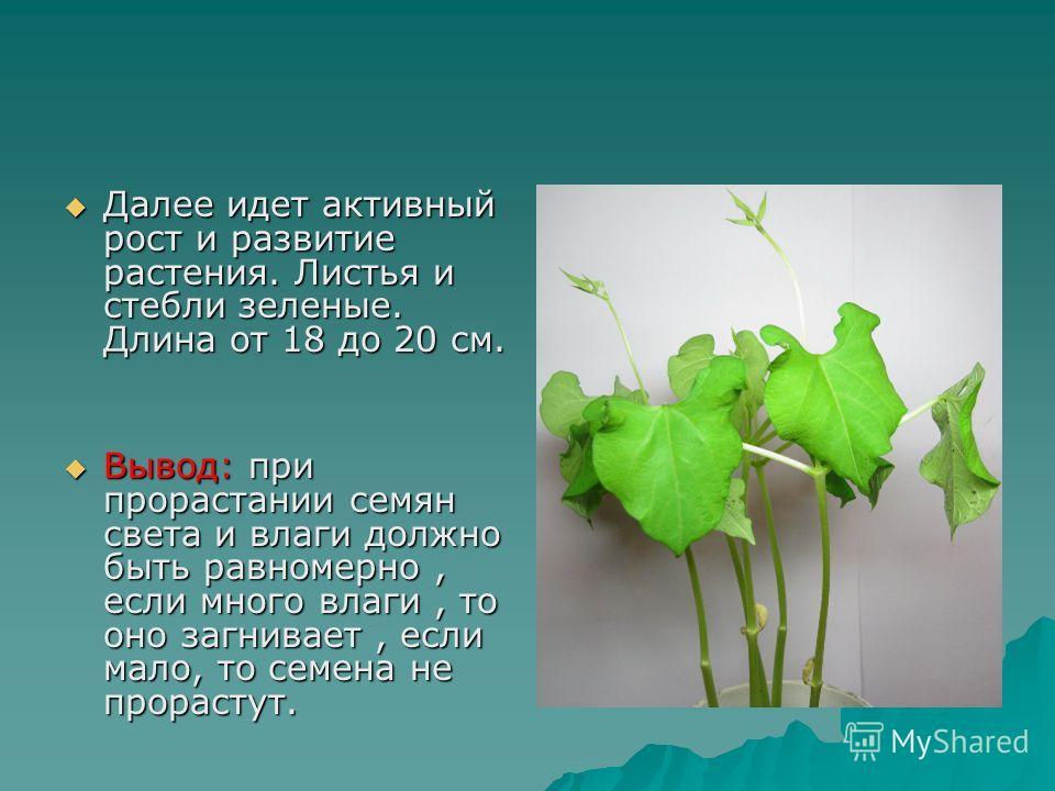 Далее идет активный рост и развитие растения. Листья и стебли зеленые. Длина от 18 до 20 см. Далее идет активный рост и развитие растения. Листья и стебли зеленые. Длина от 18 до 20 см. Вывод: при прорастании семян света и влаги должно быть равномерн
