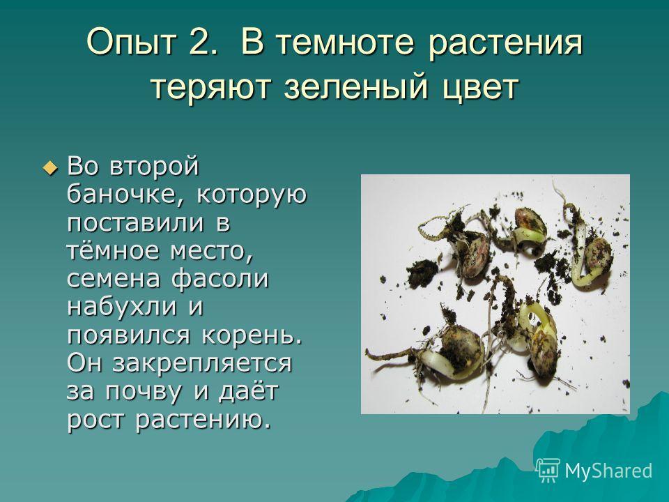 Опыт 2. В темноте растения теряют зеленый цвет Во второй баночке, которую поставили в тёмное место, семена фасоли набухли и появился корень. Он закрепляется за почву и даёт рост растению. Во второй баночке, которую поставили в тёмное место, семена фа