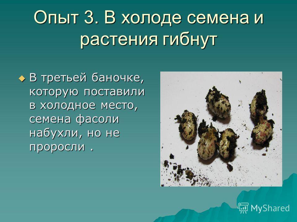 Опыт 3. В холоде семена и растения гибнут В третьей баночке, которую поставили в холодное место, семена фасоли набухли, но не проросли. В третьей баночке, которую поставили в холодное место, семена фасоли набухли, но не проросли.