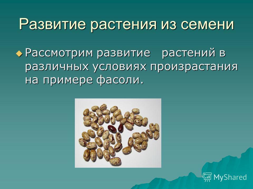 Развитие растения из семени Рассмотрим развитие растений в различных условиях произрастания на примере фасоли. Рассмотрим развитие растений в различных условиях произрастания на примере фасоли.