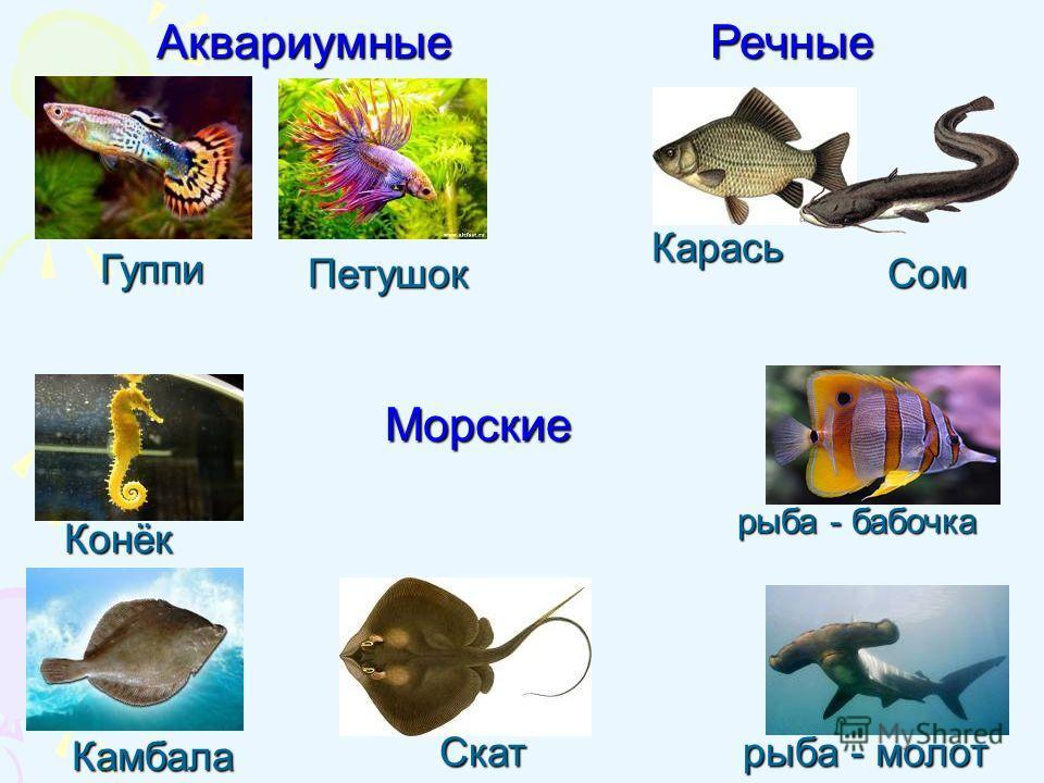 Петушок Камбала Конёк Гуппи Карась Скат Сом рыба - бабочка АквариумныеРечные Морские рыба - молот
