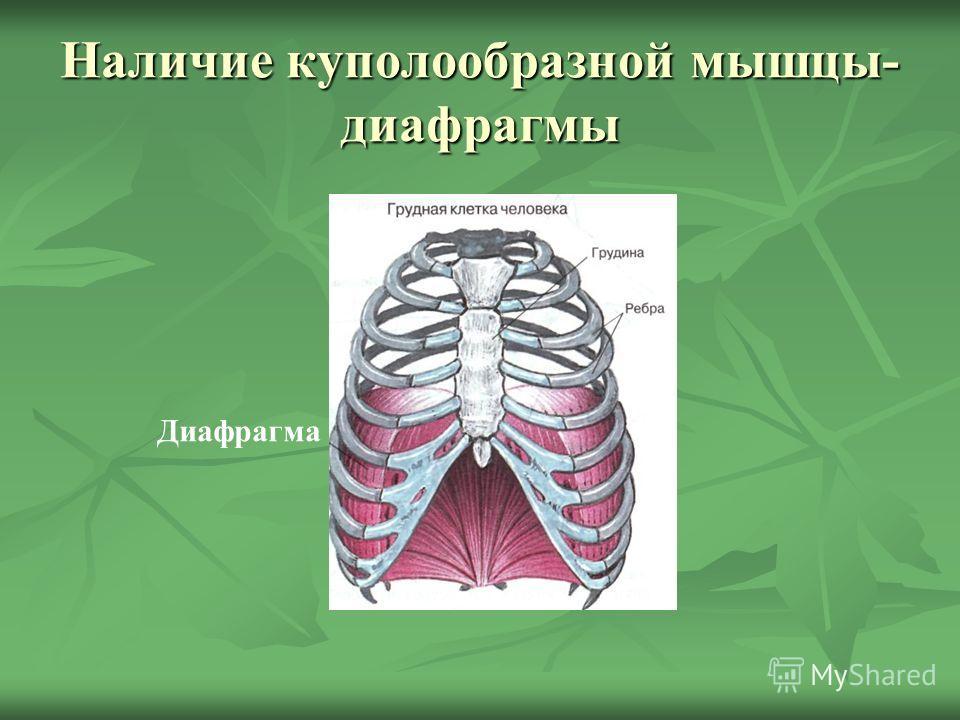 Наличие куполообразной мышцы- диафрагмы Диафрагма