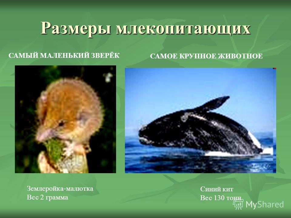 Размеры млекопитающих Землеройка-малютка Вес 2 грамма САМЫЙ МАЛЕНЬКИЙ ЗВЕРЁК САМОЕ КРУПНОЕ ЖИВОТНОЕ Синий кит Вес 130 тонн