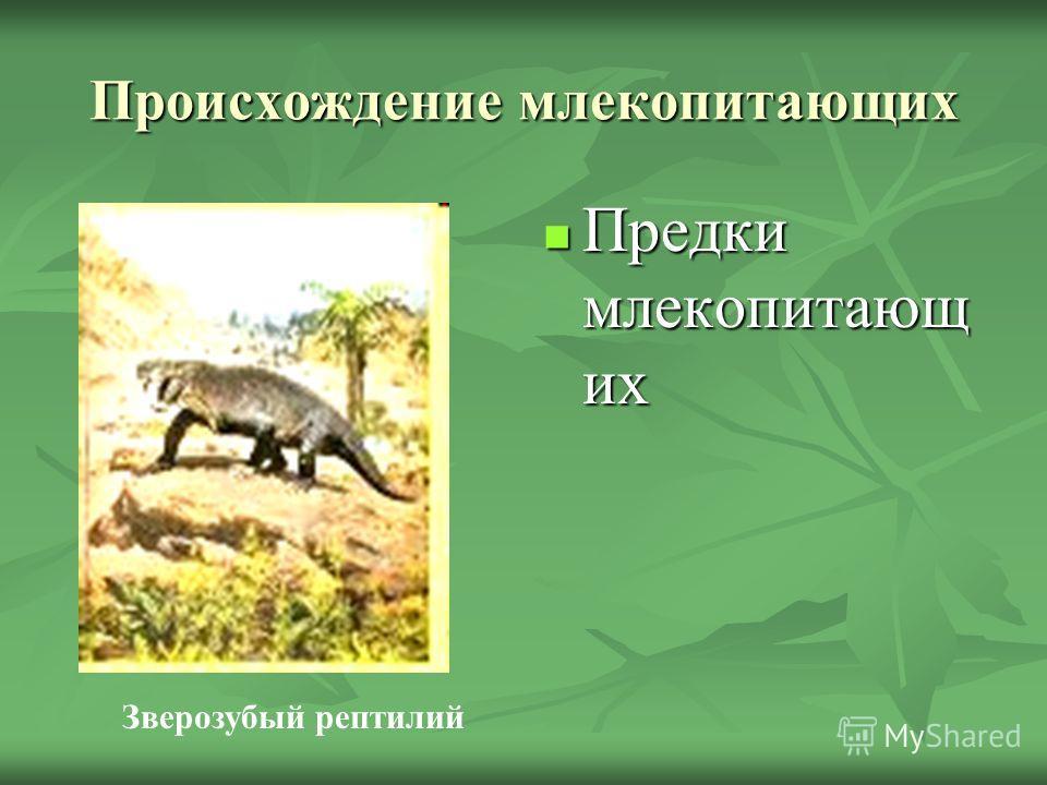 Происхождение млекопитающих Предки млекопитающ их Предки млекопитающ их Зверозубый рептилий