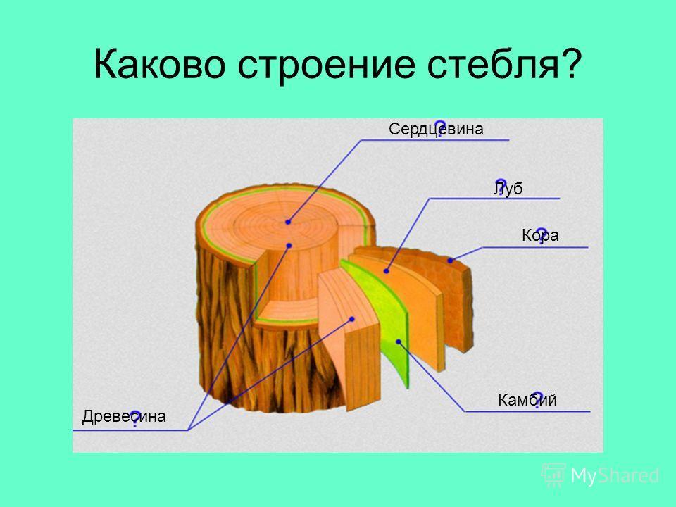 Каково строение стебля? Кора Луб Камбий Древесина Сердцевина