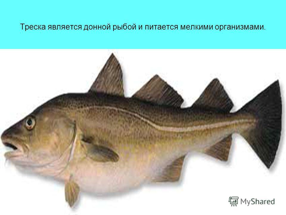 Треска является донной рыбой и питается мелкими организмами.