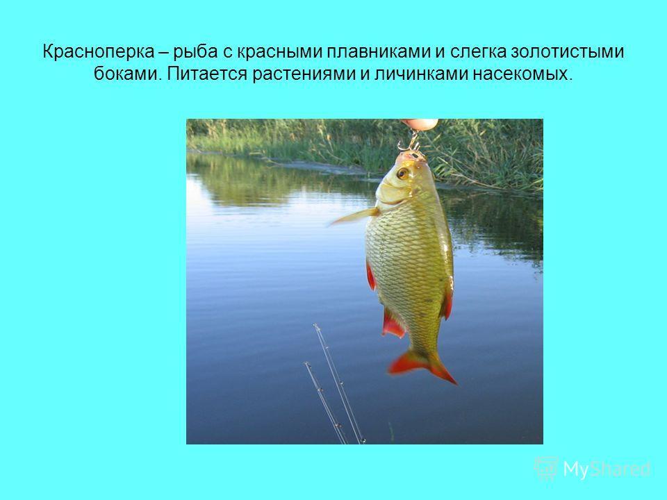 Красноперка – рыба с красными плавниками и слегка золотистыми боками. Питается растениями и личинками насекомых.