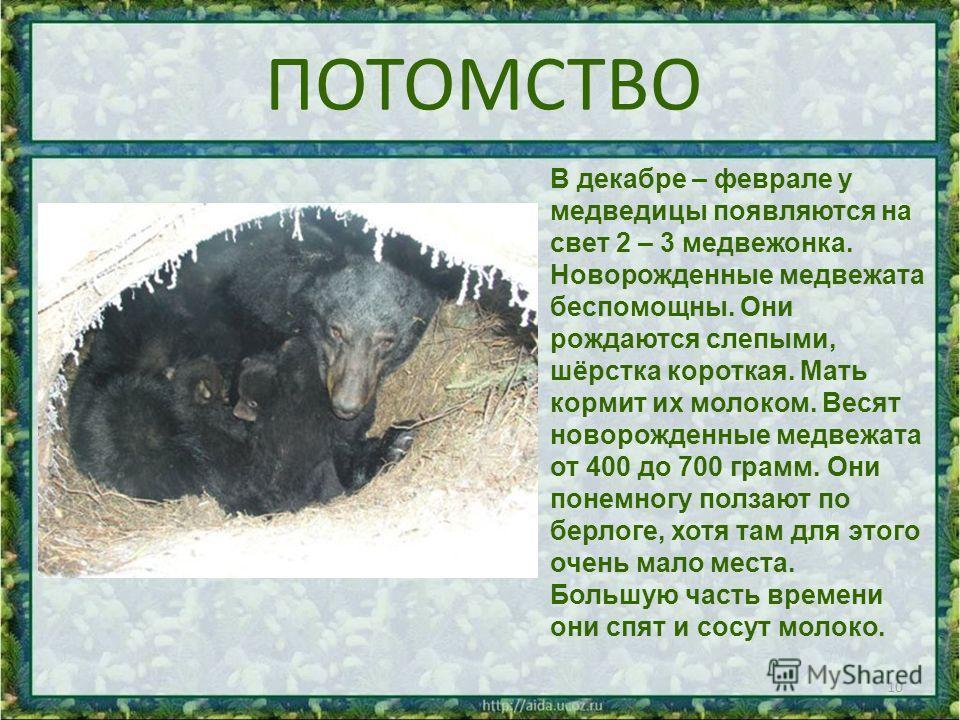 ПОТОМСТВО 10 В декабре – феврале у медведицы появляются на свет 2 – 3 медвежонка. Новорожденные медвежата беспомощны. Они рождаются слепыми, шёрстка короткая. Мать кормит их молоком. Весят новорожденные медвежата от 400 до 700 грамм. Они понемногу по