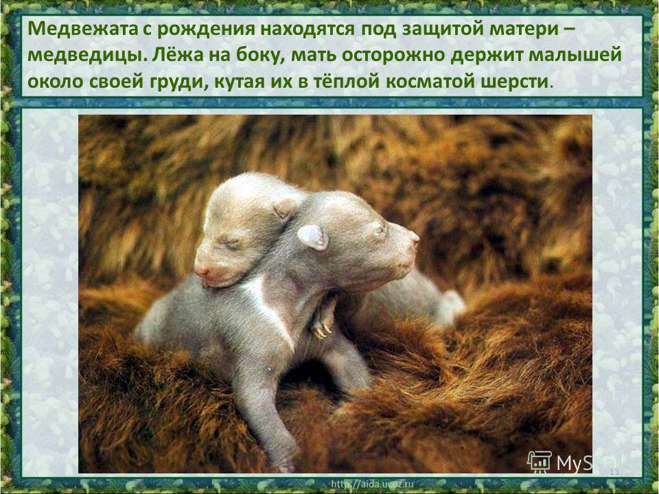 Медвежата с рождения находятся под защитой матери – медведицы. Лёжа на боку, мать осторожно держит малышей около своей груди, кутая их в тёплой косматой шерсти. 11