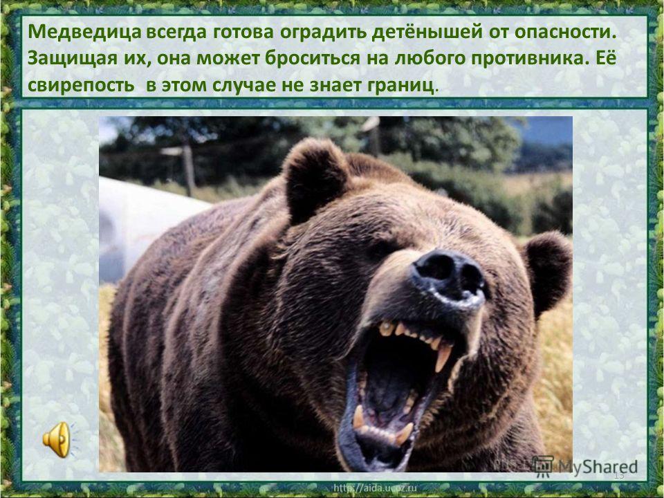 Медведица всегда готова оградить детёнышей от опасности. Защищая их, она может броситься на любого противника. Её свирепость в этом случае не знает границ. 13