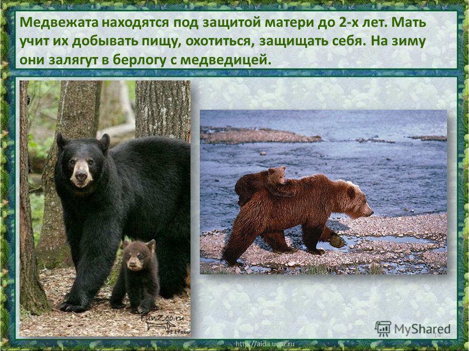 Медвежата находятся под защитой матери до 2-х лет. Мать учит их добывать пищу, охотиться, защищать себя. На зиму они залягут в берлогу с медведицей. 14