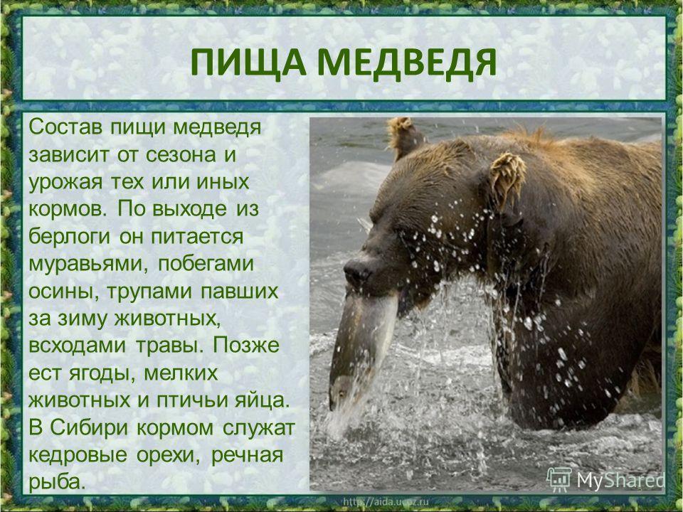 ПИЩА МЕДВЕДЯ 5 Состав пищи медведя зависит от сезона и урожая тех или иных кормов. По выходе из берлоги он питается муравьями, побегами осины, трупами павших за зиму животных, всходами травы. Позже ест ягоды, мелких животных и птичьи яйца. В Сибири к