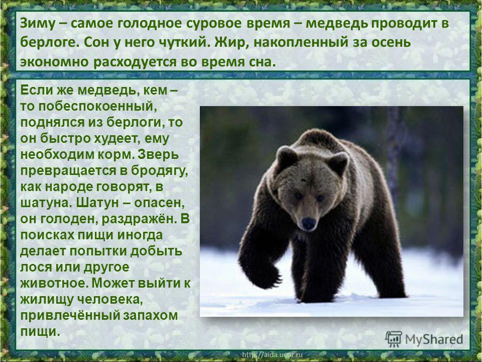 Зиму – самое голодное суровое время – медведь проводит в берлоге. Сон у него чуткий. Жир, накопленный за осень экономно расходуется во время сна. 7 Если же медведь, кем – то побеспокоенный, поднялся из берлоги, то он быстро худеет, ему необходим корм