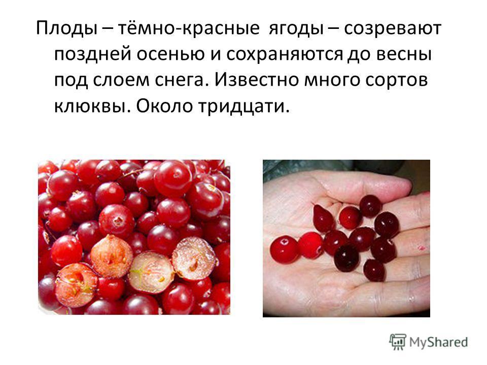Плоды – тёмно-красные ягоды – созревают поздней осенью и сохраняются до весны под слоем снега. Известно много сортов клюквы. Около тридцати.