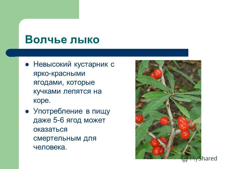 Волчье лыко Невысокий кустарник с ярко-красными ягодами, которые кучками лепятся на коре. Употребление в пищу даже 5-6 ягод может оказаться смертельным для человека.