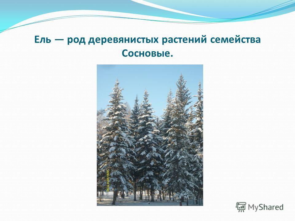 Ель род деревянистых растений семейства Сосновые.