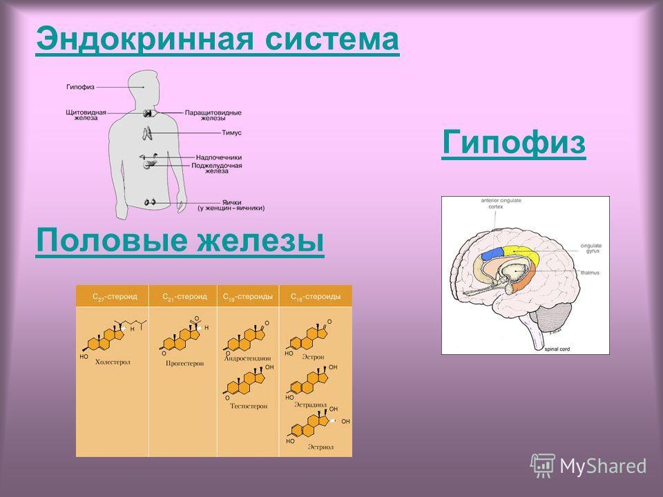 Эндокринная система Гипофиз Половые железы