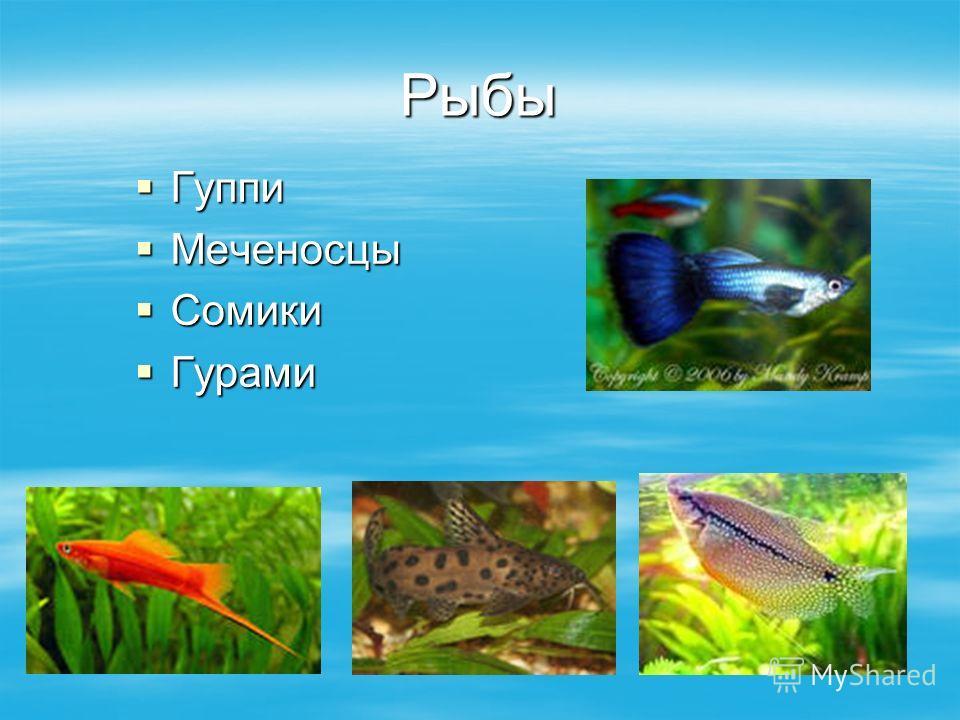 Рыбы Гуппи Гуппи Меченосцы Меченосцы Сомики Сомики Гурами Гурами